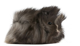 Young Peruvian guinea pig, 2 months old Stock Photo