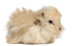 Young Peruvian guinea pig, 2 months old Stock Photos