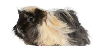 Young Peruvian guinea pig, 6 months old Royalty Free Stock Photo