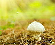 Young Pestle Puffball macro Stock Images