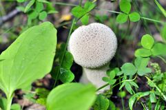Of young Pestle Puffball mushroom growing in the forest Stock Photos