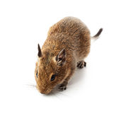 Young pet degu mouse. On a white background royalty free stock photos