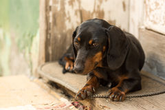 Young pet dog black dachshund in front of the old wooden doors royalty free stock photo