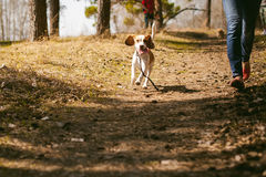 Young pet dog breeds beagle walking in the park outdoors Stock Images