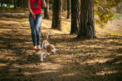 Young pet dog breeds beagle walking in the park outdoors Stock Photo