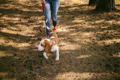 Young pet dog breeds beagle walking in the park outdoors Royalty Free Stock Image