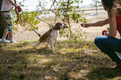 Young pet dog breeds beagle walking in the park outdoors. The girl carefully walks the puppy on a leash, plays and trains with him Royalty Free Stock Photos