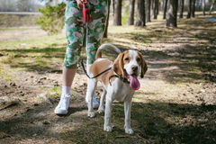 Young pet dog breeds beagle walking in the park outdoors