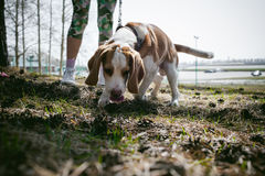 Young pet dog breeds beagle walking in the park outdoors Stock Photography