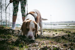 Young pet dog breeds beagle walking in the park outdoors Royalty Free Stock Photography