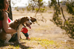 Young pet dog breeds beagle walking in the park outdoors. Young pet dog breeds beagle walking in park outdoors. woman carefully walks puppy, plays and Stock Images
