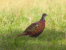 Young pheasant Royalty Free Stock Photo