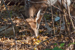 Young Piebald Whitetailed Buck Stock Images