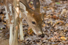 Young Piebald Whitetailed Buck Royalty Free Stock Photography