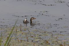 The Pied-billed grebe Podilymbus podiceps. Young Pied-billed grebe Podilymbus podiceps on the lake stock photos