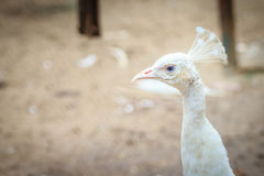 Beautiful young white peafowl. White young male albino peacock. Young pied peafowl. Albino juvenile peacock.Beautiful young white peafowl. White young male stock photo