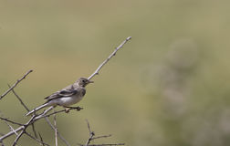 Young Pied Wagtail (Motacilla alba) Royalty Free Stock Photo