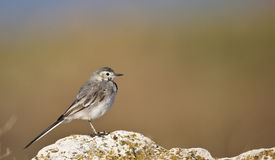 Young Pied Wagtail on a Rock (Motacilla alba) Stock Photos