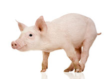 Young pig (+/-1 month) Royalty Free Stock Images