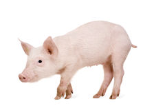 Young pig (+/-1 month) Royalty Free Stock Photos