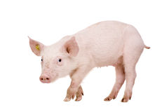 Young pig (+/-1 month) Stock Image