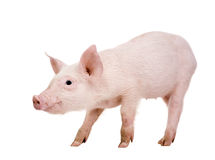 Young pig (+/-1 month) Royalty Free Stock Image