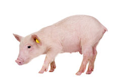 Young pig (+/-1 month) Stock Photo