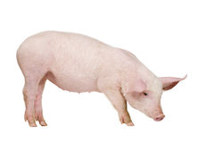 Young pig (+/-1 month) Royalty Free Stock Photography