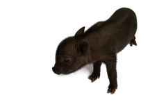Young pig Stock Photography