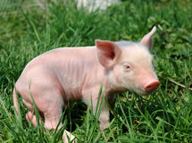Young pig. On a green grass stock photos