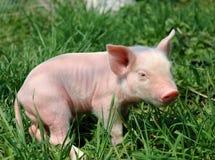 Young pig Stock Photos