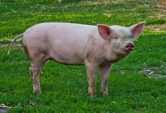 Young pig. Breeds Great White on the walk Royalty Free Stock Photography