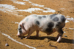 Young pig Stock Photo