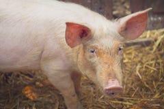 Young Pig on Breeding Farm Stock Photos