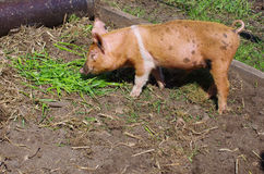 Young pig eats grass Royalty Free Stock Photography