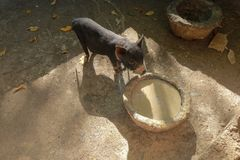 A young pig eats from a stone trough in a brick sty. Vietnamese pig eats and snout has dirty food. Young satisfied domestic pig st royalty free stock image