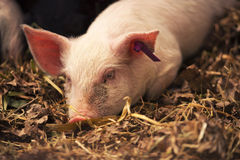 Young Pig. Farm Animal - Young pig laying in straw in the barn Stock Photos