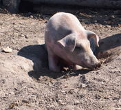 Young Pig On Farm Royalty Free Stock Photos