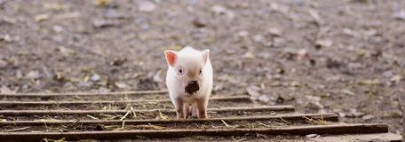 Young pig on a farm Royalty Free Stock Images