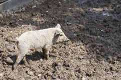 Young pig at farmyard Stock Images