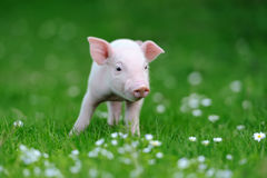 Young pig on grass Royalty Free Stock Photos