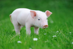 Young pig on grass Stock Images