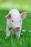 Young pig on grass. Young funny pig on a spring green grass stock images