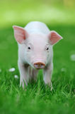 Young pig on grass. Young funny pig on a spring green grass royalty free stock photography
