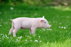 Young pig on grass. Young funny pig on a spring green grass royalty free stock photos