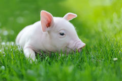Young pig on grass. Young funny pig on a spring green grass royalty free stock photo