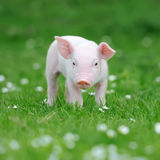 Young pig on grass. Young funny pig on a spring green grass royalty free stock image