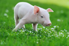 Young pig on grass. Young funny pig on a spring green grass stock photo