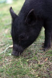 Young pig in grass Stock Photography