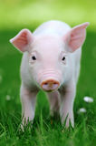 Young pig in grass Stock Images